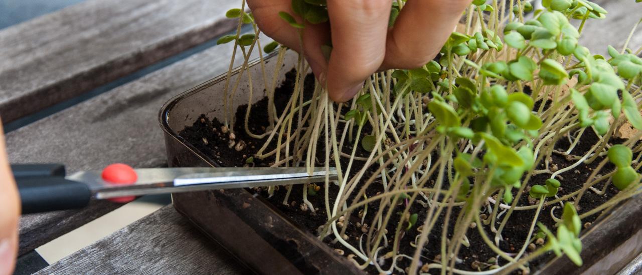 Høsting krever kun en saks og et lett håndlag. Her ser man også fordelen av å ha jord helt opp til kanten; vi kunne ha hatt enda litt mer jord for lettere å komme til stilkene.